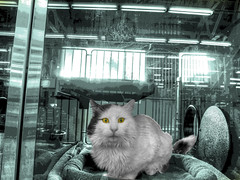 Caged Cat…Up For Adoption (Walker Dukes) Tags: sanfrancisco california white black green animal yellow metal photoshop canon fur nose gold photo bars feline tail fluffy ears whiskers fangs claws catbed crouching feral posterization photomatix tonemapping canons95