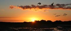 Another Fishermans Bay light show (robynbrody) Tags: light sunset sky seagulls bird beach nature water birds clouds geotagged evening bay twilight dusk australia birdsinflight mangroves southaustralia portbroughton fishermansbay yorkepeninsular spencergulf flickraward