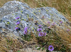 Swept (foxiedoxie7) Tags: daisies purple wind boulder diagonal breeze yielding
