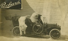Packard Car Cats (Cropped) (Alan Mays) Tags: old cats cute cars vintage ads advertising toys jumping funny humorous driving photos antique humor models kittens tires ephemera photographs postcards autos amusing advertisements logos automobiles packard foundphotos spares steeringwheels rppc realphotopostcards