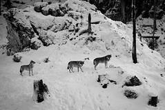 Les loups du Juraparc (Tonton Dave) Tags: leica nature monochrome suisse tmax wolves vaud vallorbe loups juraparc