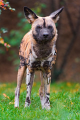 Standing African wild dog