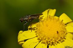 1 (Aziz alshamali) Tags: flower natural flies macrolife