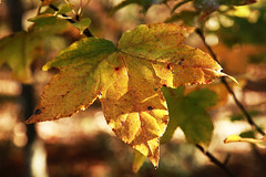 Sweetgum Leaf in Autumn (wyojones (Finally Back After A Month Away)) Tags: autumn leaves yellow gardens spring woods texas houston arboretum np sweetgum liquidambarstyraciflua mercerarboretum pineywoods americansweetgum wyojones mercerarborteumandgardens