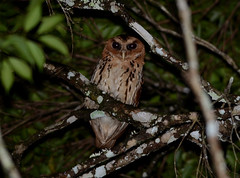 Giant Scops Owl Mimizuku gurneyi (Bram Demeulemeester - Birdguiding Philippines) Tags: philippines owls zamboanga nightbirds bramdemeulemeester birdguidingphilippines philippinesbirdingtours pasonancawatershedreserve mimizukugurneyi giantscopsowl