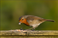THIS ONE WILL DO ME (Shaun's Wildlife Images....) Tags: robins shaund