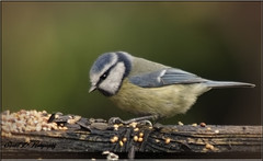 BLUE TIT (Shaun's Wildlife Images....) Tags: birds bluetits shaund