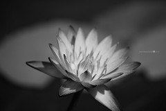 How do I love thee.... (zoan) Tags: bw flower singapore lotus monochromatic sg mbs marinabay