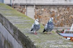 Pigeons de Paris (Christian Picard) Tags: paris france de french temple design photo photographie pigeon pigeons ile christian le creator picard photographe savigny parisien nady chrisphoto 77176 chrisphotofr creatortodesigncom