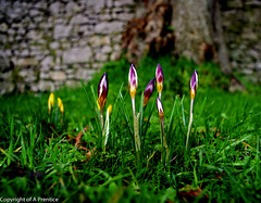 Colourful Collection (Crocus) (Alistair Prentice.) Tags: county old flowers colour church beautiful st woodland countryside spring amazing arty pentax country january meadows sigma crocus 150 marks co bulbs snowdrops colourful 500 prentice alistair snowdrop extract armagh crocuses kx portadownwinter