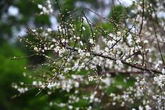 IMG_6179 (Sandor's Album) Tags: flowers flower blossom plum hsinchu taiwan       nationaltsinghuauniversity drmeimemorialgarden