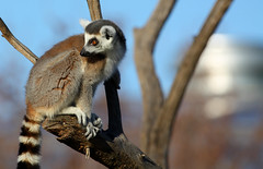 Lemurs  -  -  Explore (ALdowayan) Tags: its ferret noahsark