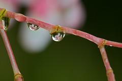 Droplets on the fushia (Deb Jones1) Tags: flowers macro green water floral canon garden botanical droplets flora waterdrops flickrduel debjones1
