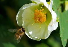 About to land (Deb Jones1) Tags: flowers macro green nature beauty canon garden insect botanical outdoors flora bee flickrduel debjones1