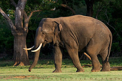 Wild Tusker (Sara-D) Tags: nature animals forest asia wildlife sl sri lanka elephants srilanka ceylon lk aliya maximus wildanimals southasia elephasmaximus tusker elephas elephasmaximusmaximus wildelephants