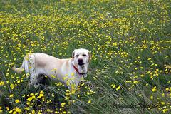 labrador in a field (Villi Kristjans) Tags: summer dog flower color colour film grass digital island islands iceland nikon labrador farm sland flowerfield villi vk vaka kristjansson kristjnsson kristjans kristjns vilmundur vkphoto