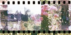 Fautographie #9 - Flowers in the dirt (Italian Film Photography) Tags: colour film rollei 35mm 200 vista analogue agfa exposed analogica sprocket overlap c41 pellicola a26 sovrapposizioni developedathome tetenal colortec fautographie fautografia stuckadvance