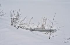 Brrrr! (larigan.) Tags: winter lake snow reeds frozen spjelkavik larigan phamilton lillevatn ginordicjan12