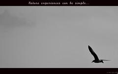 Simple (Melanie Delgado Phillips) Tags: blackandwhite bird blancoynegro fly seagull simple gaviota pjaro volar sencillo 112picturesin2012