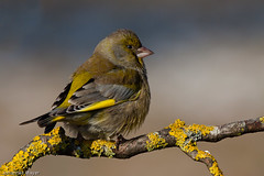 Greenfinch male (Johannes D. Mayer) Tags: bird nature birds deutschland wildlife ngc aves vgel greenfinch carduelischloris badenwrttemberg europeangreenfinch grtzingen aichtal supershot canonef100400mmf4556lisusm grnfink finken sperlingsvgel canoneos50d avianexcellence landkreisesslingen mygearandme mygearandmepremium aichtalgrtzingenes