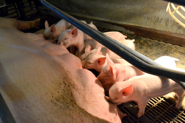 Farrowing area