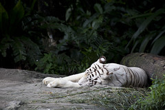 IMG_2401 (Marc Aurel) Tags: zoo singapore tiger tigre singapur whitetiger zoologischergarten singaporezoo weddingtrip hochzeitsreise bengaltiger pantheratigris zoologicalgarden königstiger pantheratigristigris royalbengaltiger pantheratigrisbengalensis weisertiger 5dmarkii eos5dmarkii indischertiger tigrebiancha