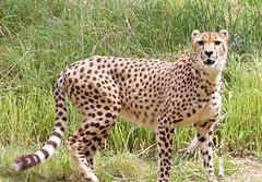 Cheetah (sandy richard) Tags: usa oregon portland zoo unitedstates portlandoregon oregonzoo sandyrichard sandrarichard