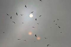 Vgel...n...? (losy) Tags: sun mist birds fog nebel valentine vgel sonne craw craws krhen losy flickrjobprem losyphotography