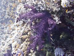 StJohns_PurpleCoral (HongKongPhooey2009) Tags: fish coral canon shark boat underwater stingray dolphin redsea egypt scuba clam cave diver eel reef sponge manta moray hammerhead