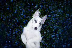 Cirilla  5 months old (Alicja Zmysowska) Tags: flowers blue dog pet pets cute dogs animal animals puppy outdoors spring puppies collie outdoor border bordercollie slate merle springtime