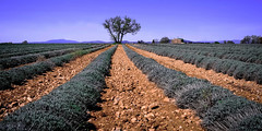 Provenal......... (Malain17) Tags: sky panorama france colors composition landscape photography europa image pentax perspective champs photographers arbres terre provence capture paysage lavandes sillons