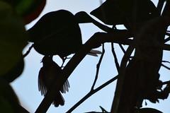 Silhouette of a Juvenile Cardinal (bmasdeu) Tags: silhouette juvenile cardinal feeding submissive birds nest florida nature wildlife backyard