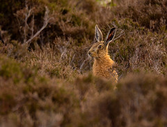Brown Hare (Peter Quinn1) Tags: mammal heather sheffield moorland brownhare agdenside