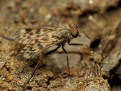 Snipe Fly (treegrow) Tags: nature insect washingtondc fly rockcreekpark arthropoda diptera lifeonearth raynoxdcr250 rhagionidae canonpowershotsx40hs rhagiopunctipennis taxonomy:binomial=rhagiopunctipennis