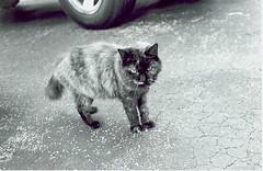 Mocha 2 (Stephen Hilton) Tags: bw cat blackwhite fp4 canonetgiiiql17