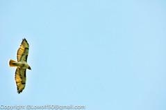 RedTailHawk battle 13_DSC5619.jpg (orig_lowolf) Tags: usa home oregon nikon flickr flight crow attacking redtailedhawk lakeoswego d300s sigma150500mmf563afapodgoshsmtelephotozoom