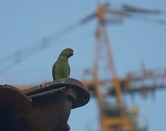 Parrot and Progress (pam's pics-) Tags: green bird nature dubai natural middleeast parrot arabia unitedarabemirates ua pammorris pamspics parkeets sonya6000