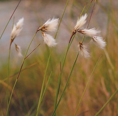 """ ZEN "" #Harmonie Gilderhauservenn# (Kalbonsai) Tags: flowers closeup 50mm nikon bokeh zen bloemen heide harmonie gildehauservenn d5100 naturphotography heideplanten heidegras"