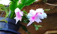 20150807_130059 - Cpia (Megaolhar) Tags: flores toy flickr do dia vale paulo apa bom inverno so campos facebook tuka jordo paraba fazendinha 2016 youtube ibama twitter jardinagem bioma gomeral