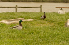 The fight 2/5 (Greelow) Tags: wild green animal outside duck nikon canard colvert greelow