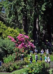 Rose garden and rhododendron 4 30 2016 (rbdal (Rick Dalrymple)) Tags: flowers roses rose oregon portland spring nikon rhododendron blooms washingtonpark multnomahcounty internationalrosetestgarden d7000