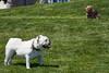 2016_36 (Dylon87) Tags: dog lake ontario canada english beach burlington canon photography eos spring photographer roman walk bulldog 5d englishbulldog 2016 markiii