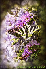 2016-05-20-_MG_8346FA1r (CarolesPhotoArt) Tags: composite butterfly blended swallowtail muted