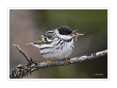 Blackpoll Warbler and Midge (Tomcod) Tags: newfoundland bill wings tail beak feathers avalon warbler songbird midge blackpoll bigoodspark