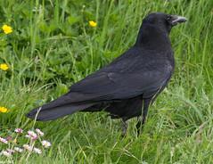 Rabenkrhe (?) (wpt1967) Tags: bird spring ruhrgebiet schwarz vogel frhling ruhrpott castroprauxel rabenvogel gefieder canon100300mm erinpark eos60d wpt1967