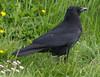 Rabenkrähe (?) (wpt1967) Tags: bird spring ruhrgebiet schwarz vogel frühling ruhrpott castroprauxel rabenvogel gefieder canon100300mm erinpark eos60d wpt1967