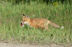 (Prairie_Wolf) Tags: calgary nikon wildlife alberta fox vulpesvulpes rachelmackayphotography