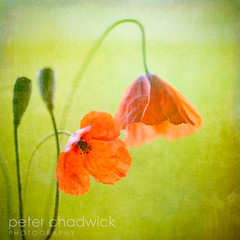 Poppy (PeterChad) Tags: wild flower texture field square soldier sadness peace joy canvas poppy bloom format honour wilt flypaper serviceman poppyappeal