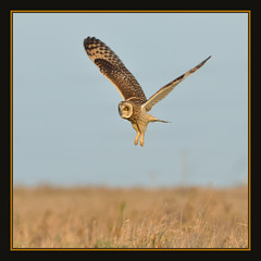 Short-eared Owl (Full Moon Images) Tags: bird nature wildlife flight short owl fen fens fenland eared burwell wicken shorteared