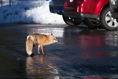 Red Fox Foraging for Human Food in Mount Rainier National Park (Lee Rentz) Tags: november winter wild usa snow color animal america hair season fur mammal us washington parkinglot snowy wildlife seasonal fox mountrainier mountrainiernationalpark northamerica form predator washingtonstate behavior mtrainier variation scavenger habituation carnivore variant redfox scavenging vulpesvulpes mtrainiernationalpark longmire omnivore canid canidae habituated accustomedtohumans